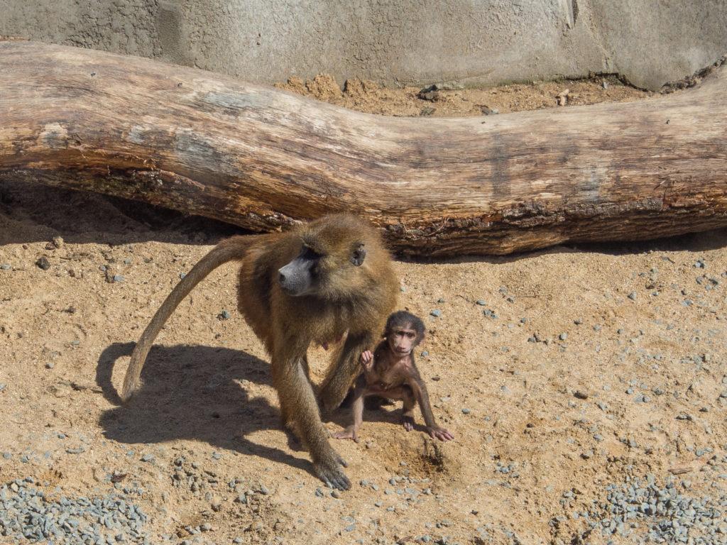 baboons Paris Zoo