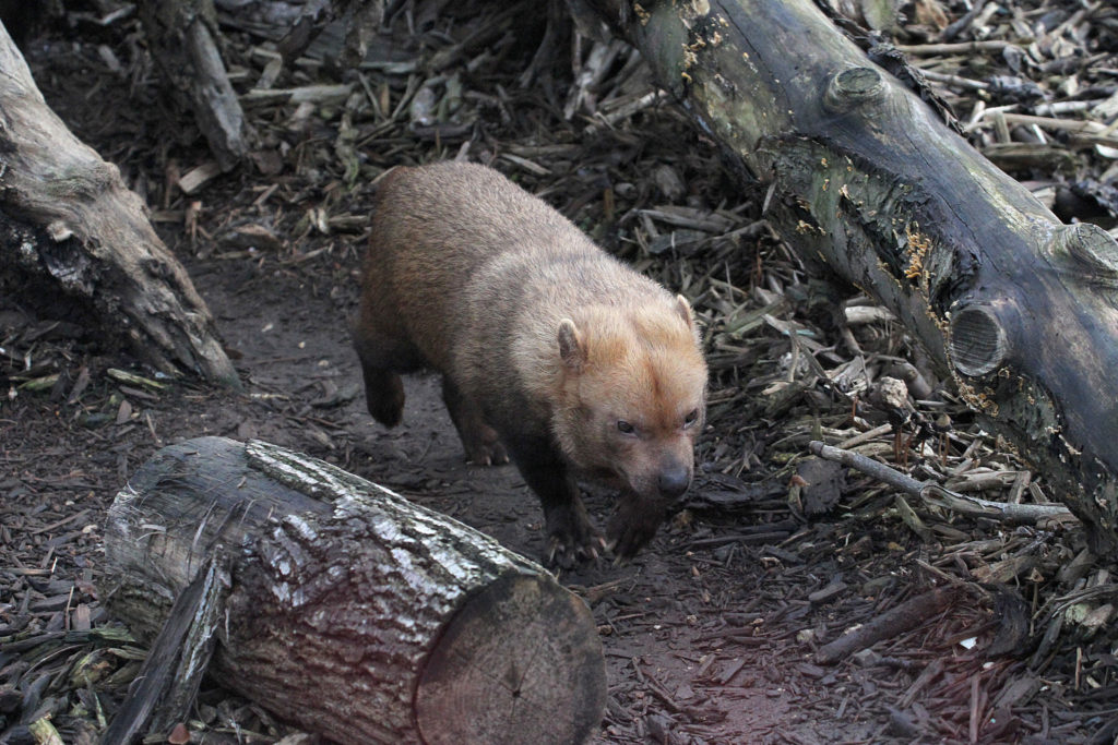 bush dog Paris zoo