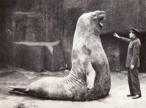 éléphant de mer zoo de Vincennes