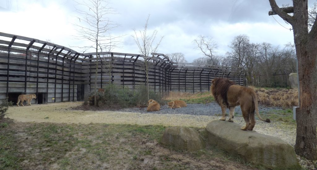 Paris zoo lions