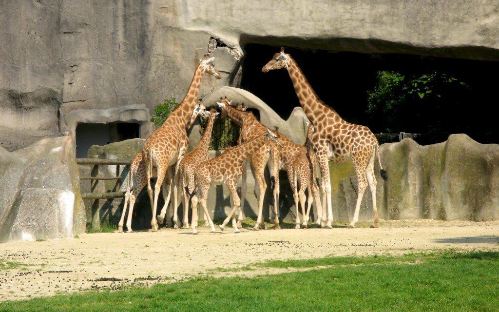 girafes zoo de Vincennes