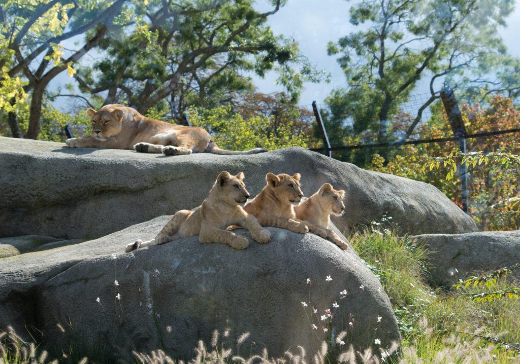 lion cubs Paris Zoo