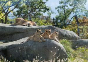 lionceaux zoo de Vincennes