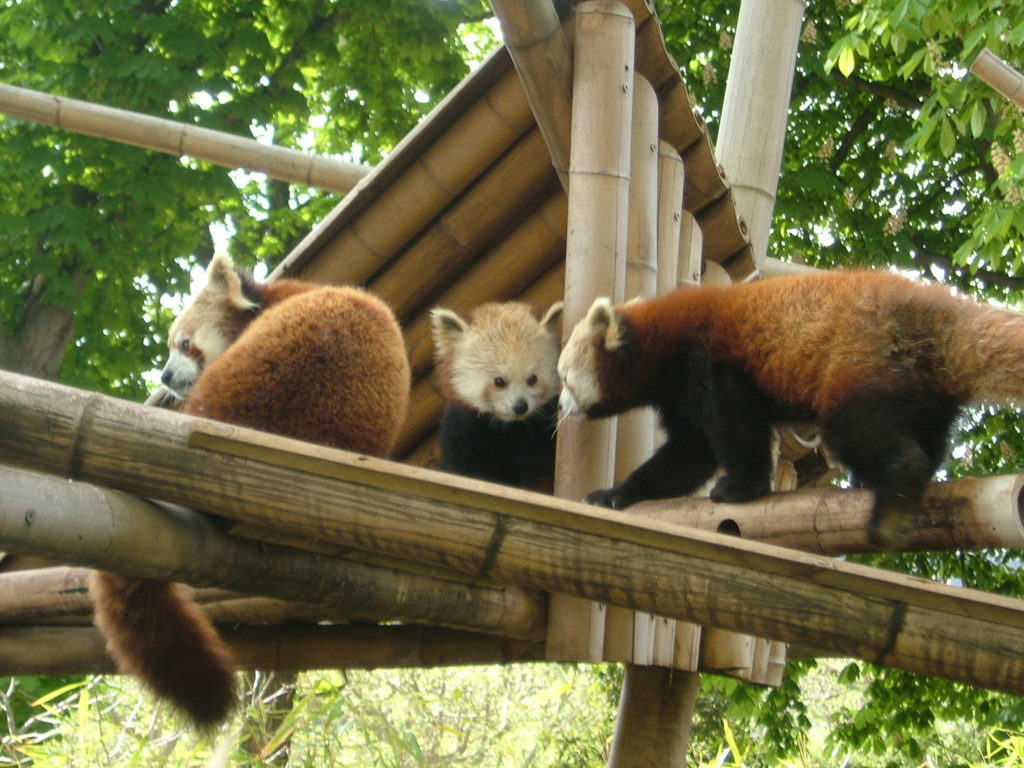 pandas zoo of Vincennes