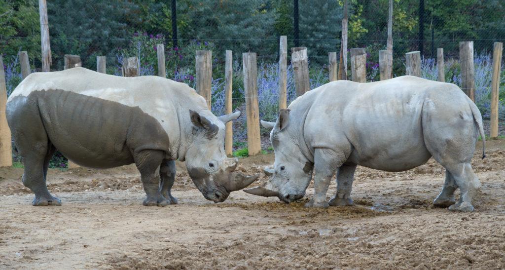 rhinocéros blanc zoo de Vincennes