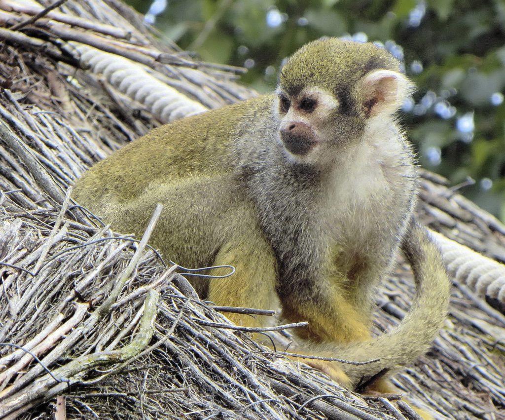 singes zoo de Vincennes