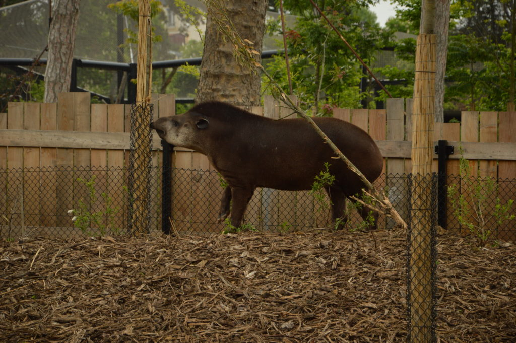 tapir zoo of Vincennes