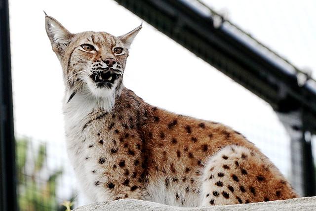 lynx Parc zoologique de Paris