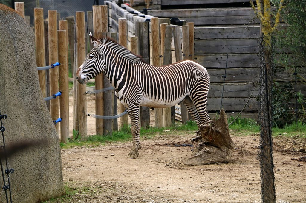 zebra Paris zoo